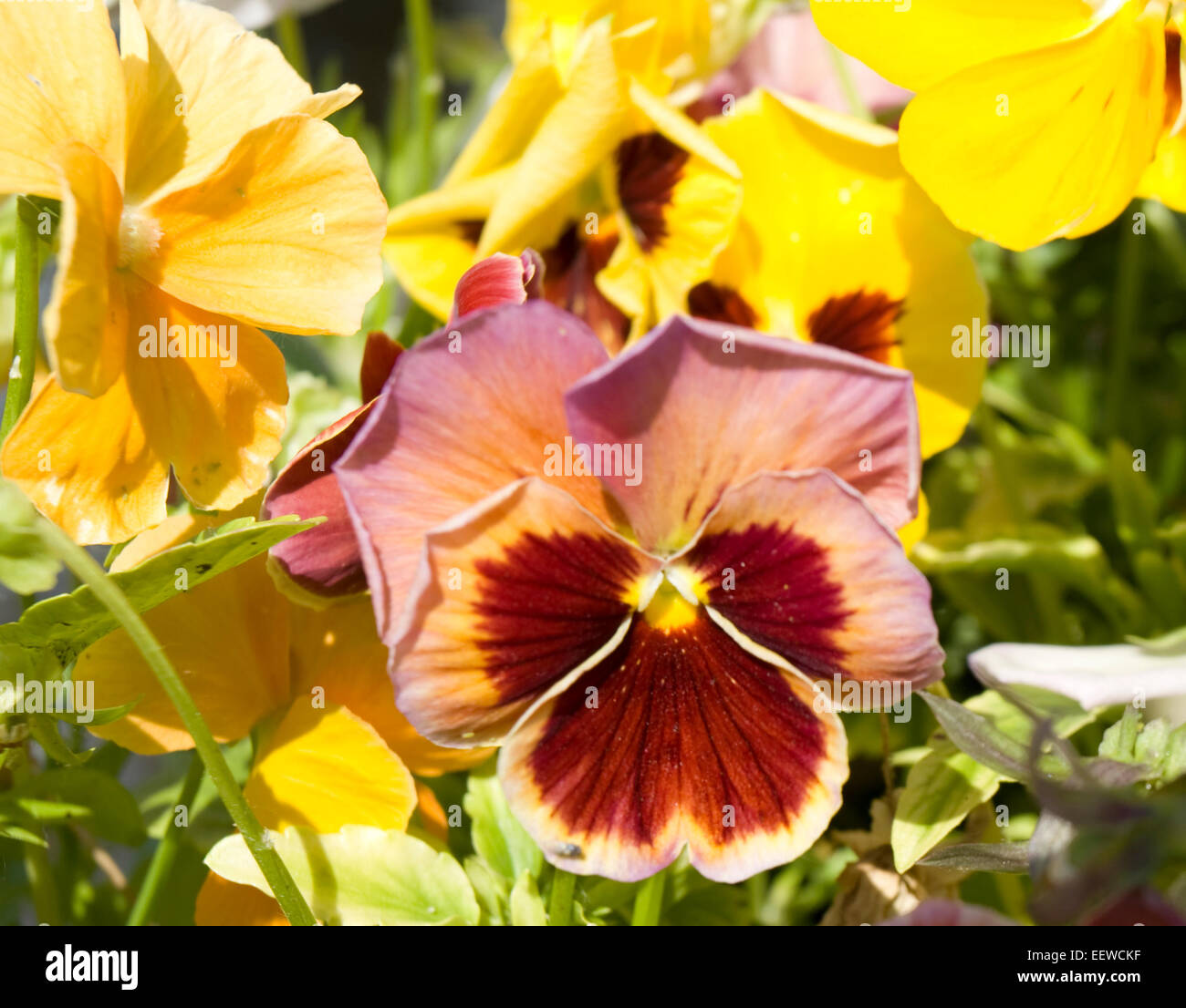 Pansy (viola tricolor) of crimson and pink colours. - Stock Image