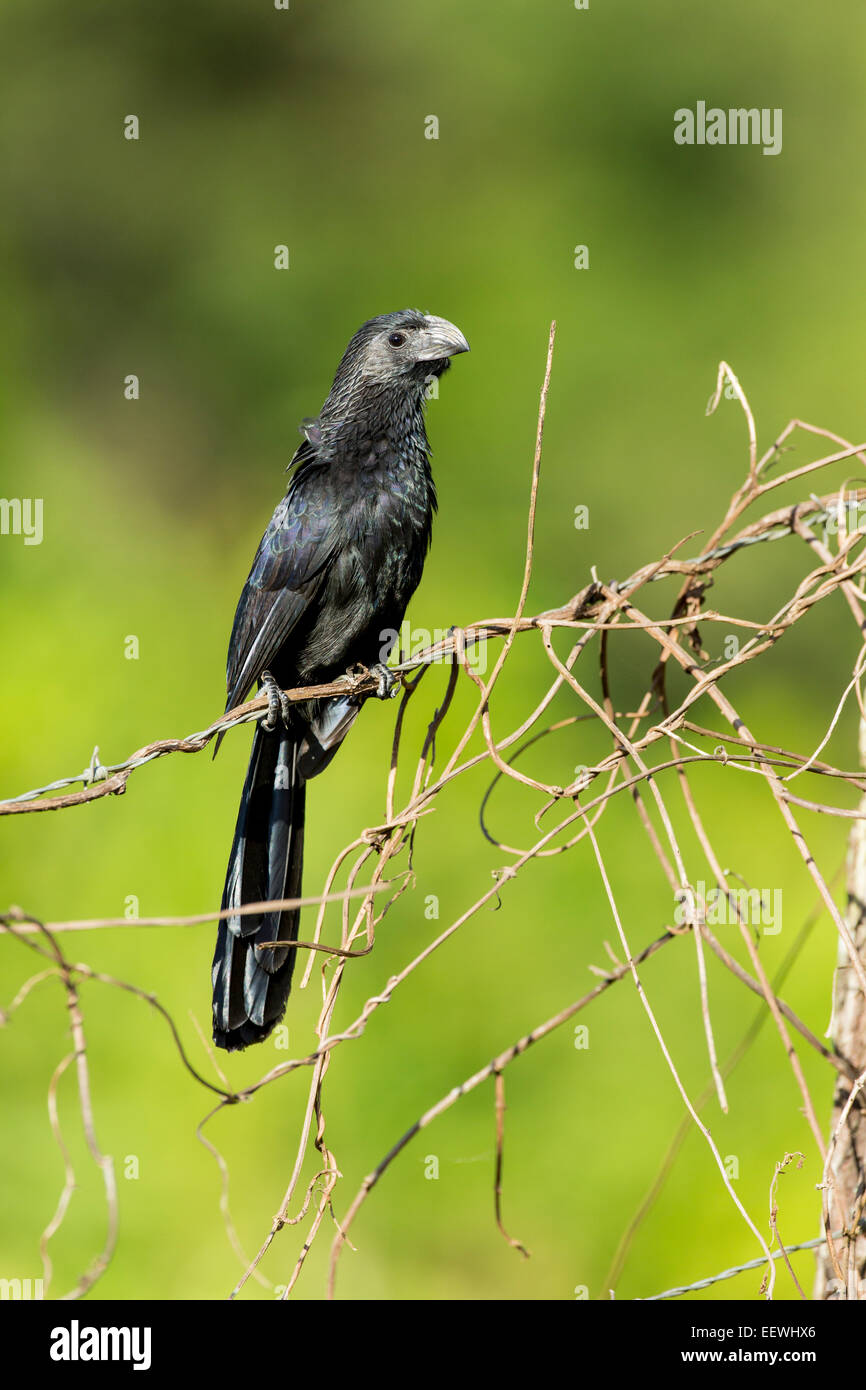 Groove-billed Ani Crotophaga sulcirostris perched on fence near Boca Tapada, Costa Rica, February, 2014. - Stock Image
