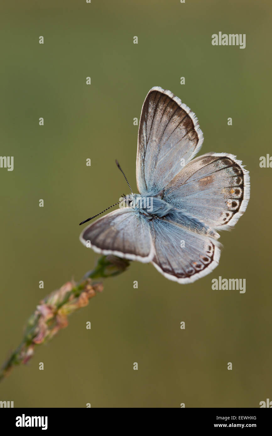 Chalkhill Blue Polyommatus coridon butterfly roosting on side of grass head with upper wings open showing upperside - Stock Image