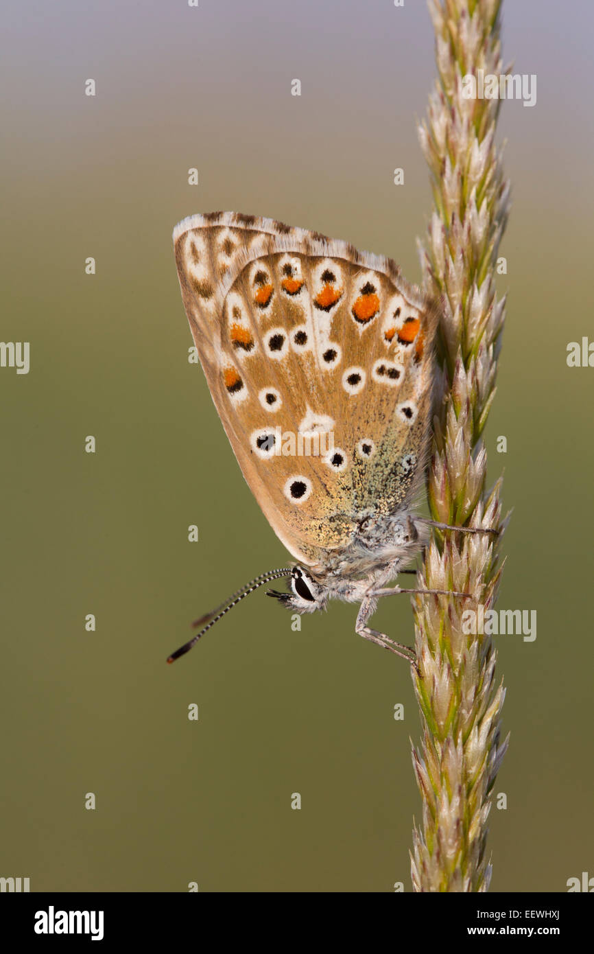Chalkhill Blue Polyommatus coridon butterfly roosting on side of grass head - Stock Image