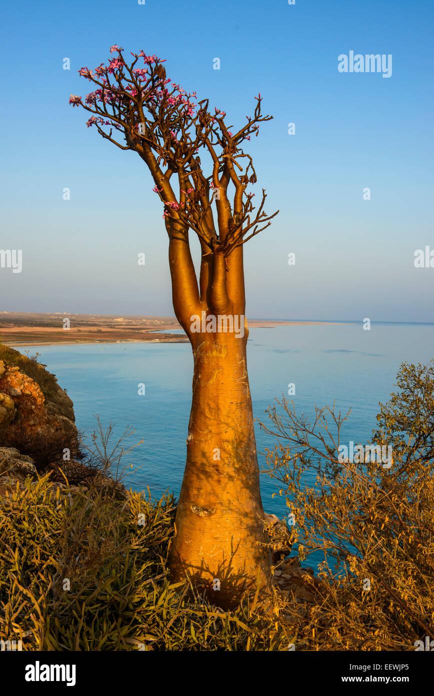 Bottle Tree (Adenium obesum) in bloom, endemic species, Socotra, Yemen - Stock Image