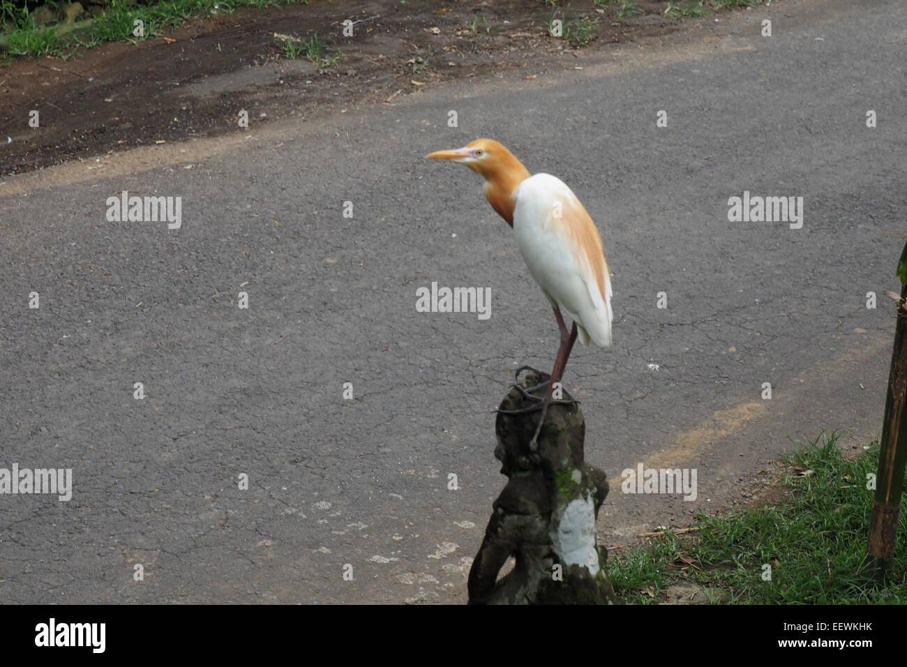 White heron of Petulu, Ubud, Bali. - Stock Image