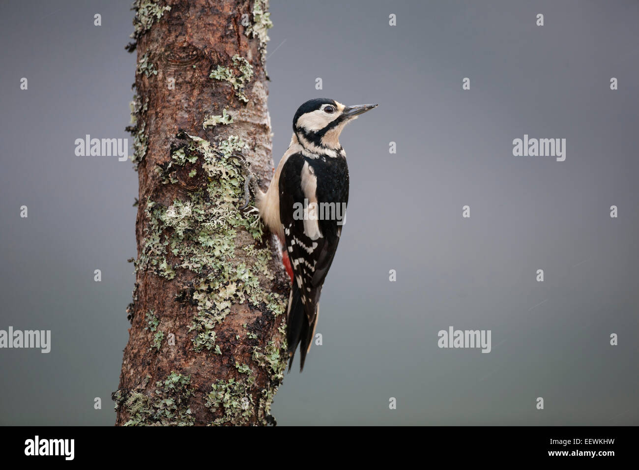 Great Spotted woodpecker Dendrocopos Major in profile clinging to a lichen covered birch tree and looking away - Stock Image