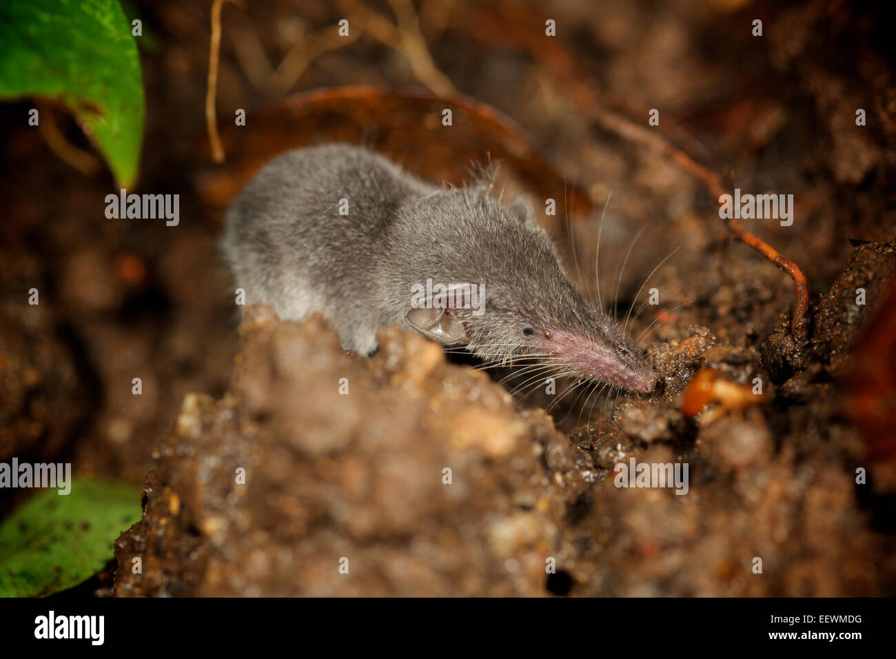 The Etruscan shrew (Suncus etruscus) is the smallest mammal in the world by weight. It weighs only two grams - Stock Image