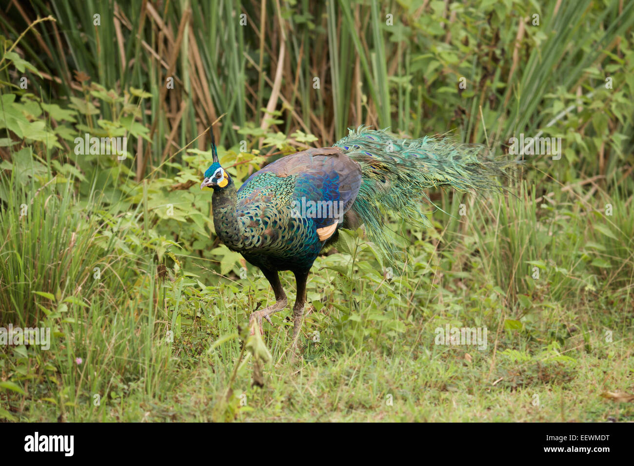 The green peafowl (Pavo muticus) (from Latin Pavo, peafowl; muticus, Mute, docked or curtailed)is a large galliform - Stock Image