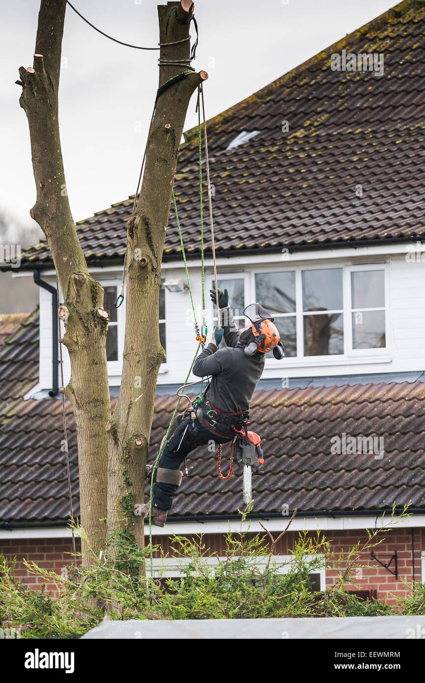 A tree surgeon arboriculturist cutting down tree in a garden Skilled Worker Chainsaw Climbing Stock Photo