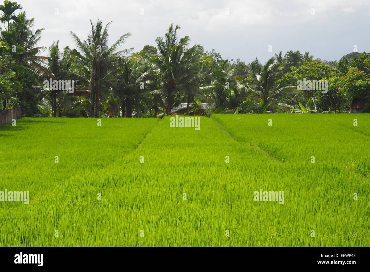 Green rice paddy in Ubud, Bali. - Stock Image