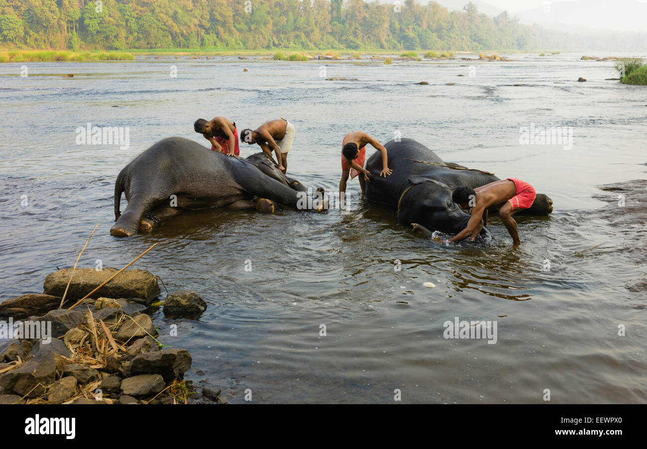 Trainers bathe young elephants at dawn in the river Periyar, a major river in Kerala, - Stock Image