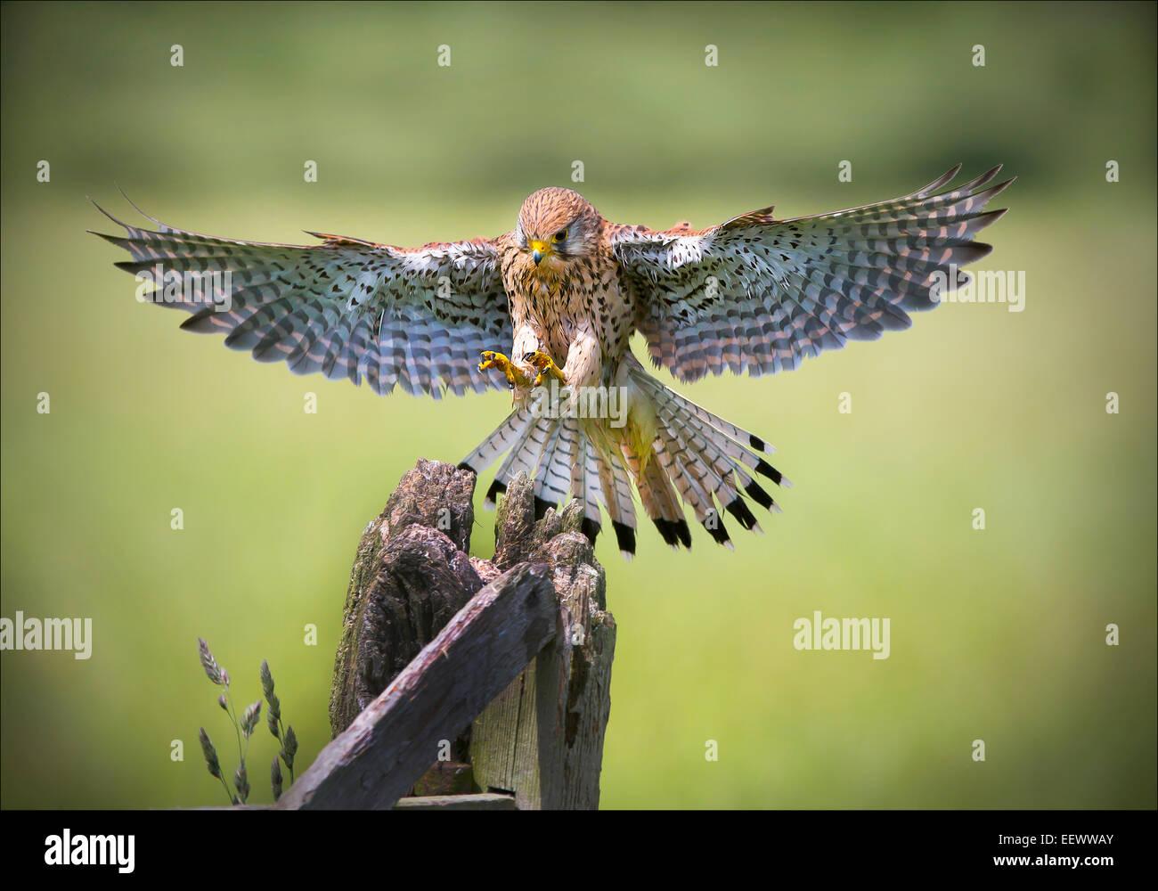 Female Kestrel Landing on Gate post - Stock Image