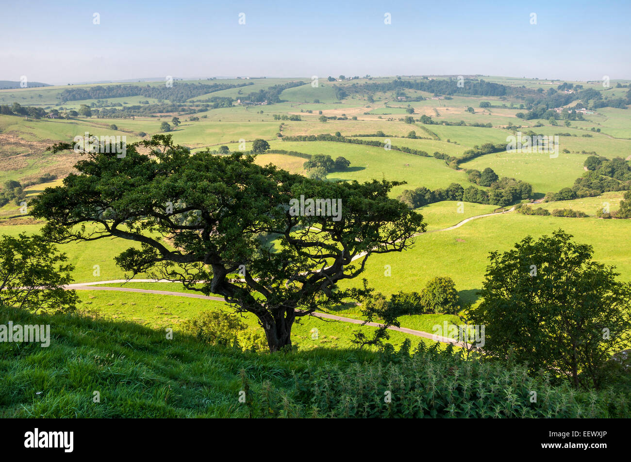 A Hawthorn tree on Parkhouse hill with green summer landscape of fields on the Staffordshire side of the river Dove. - Stock Image