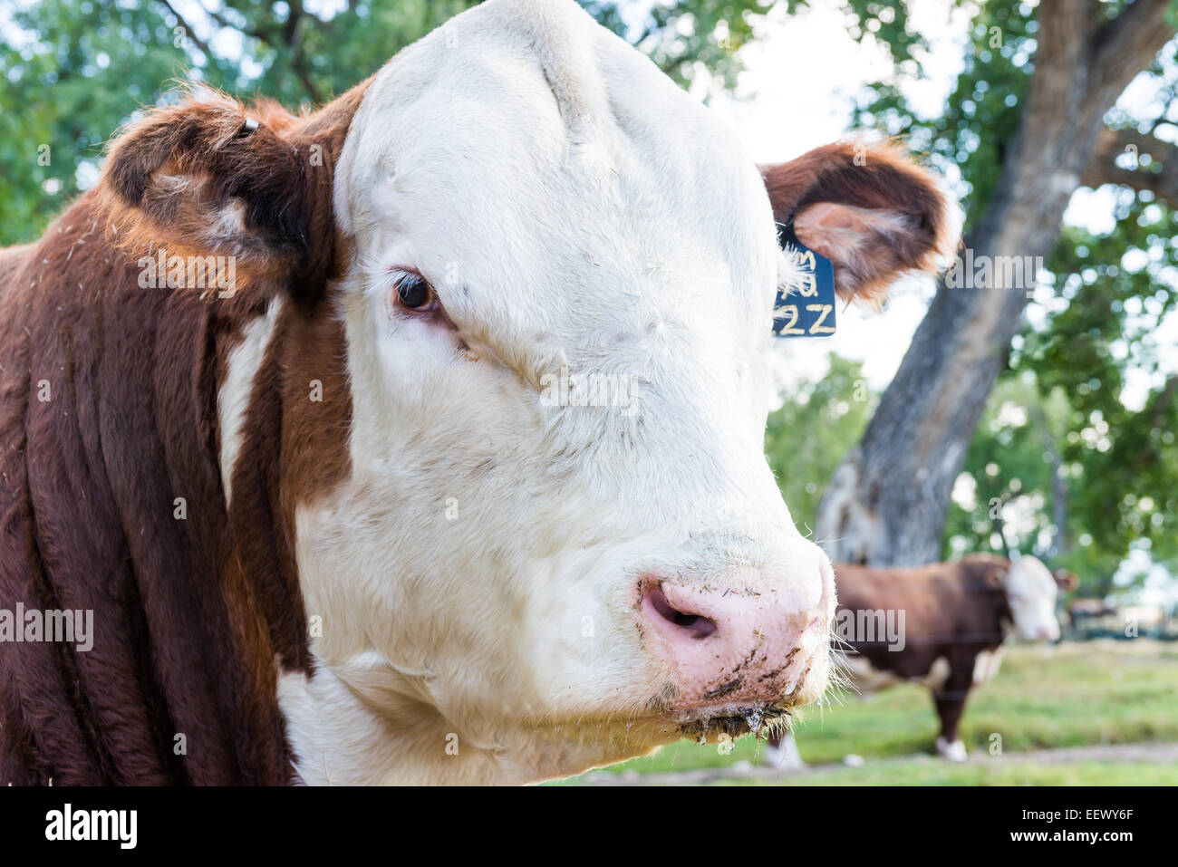 Semental Hereford bull or steer on a ranch, Wyoming, US - Stock Image