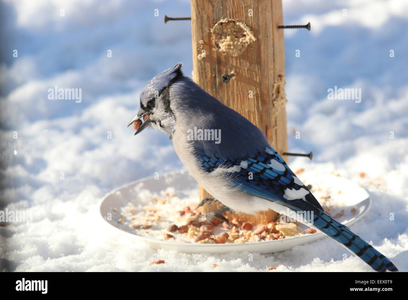 Blue Jay in Winter with peanut in mouth Stock Photo