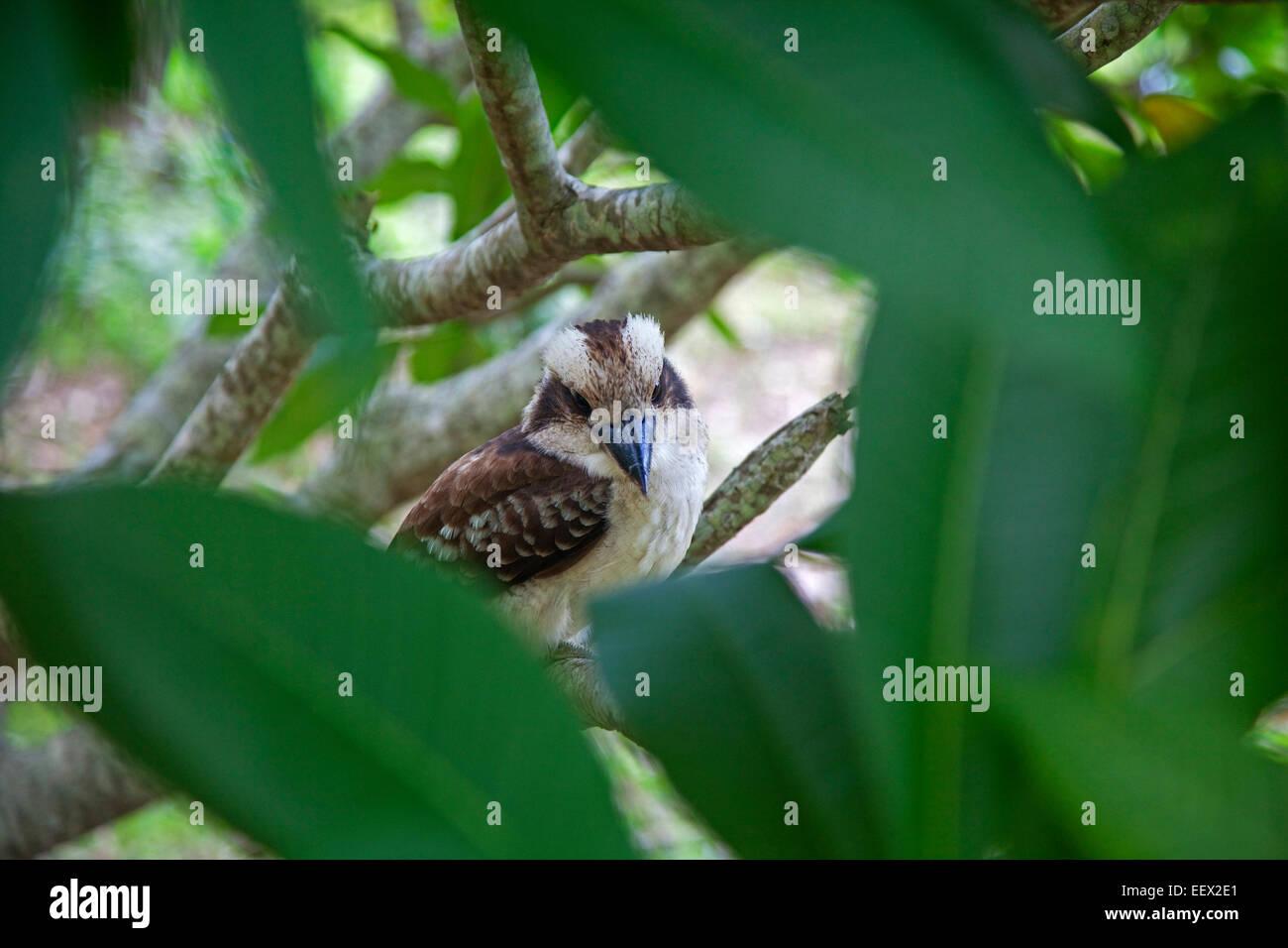 Laughing kookaburra (Dacelo novaeguineae) perched in tree, Queensland, Australia - Stock Image