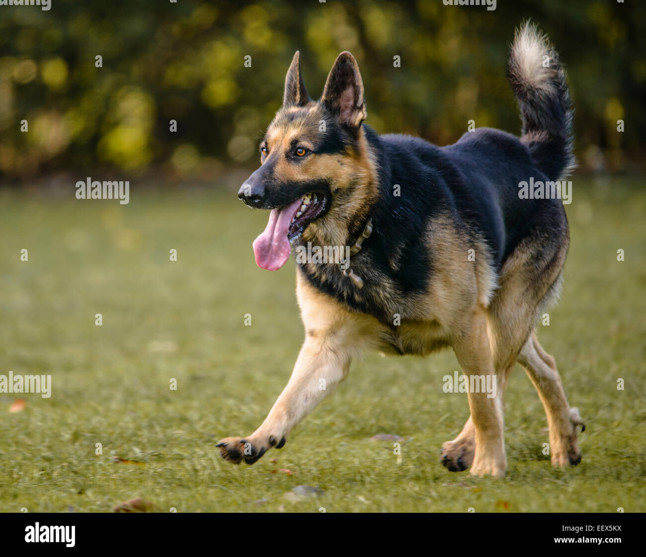 German Shepherd Running Stock Photo