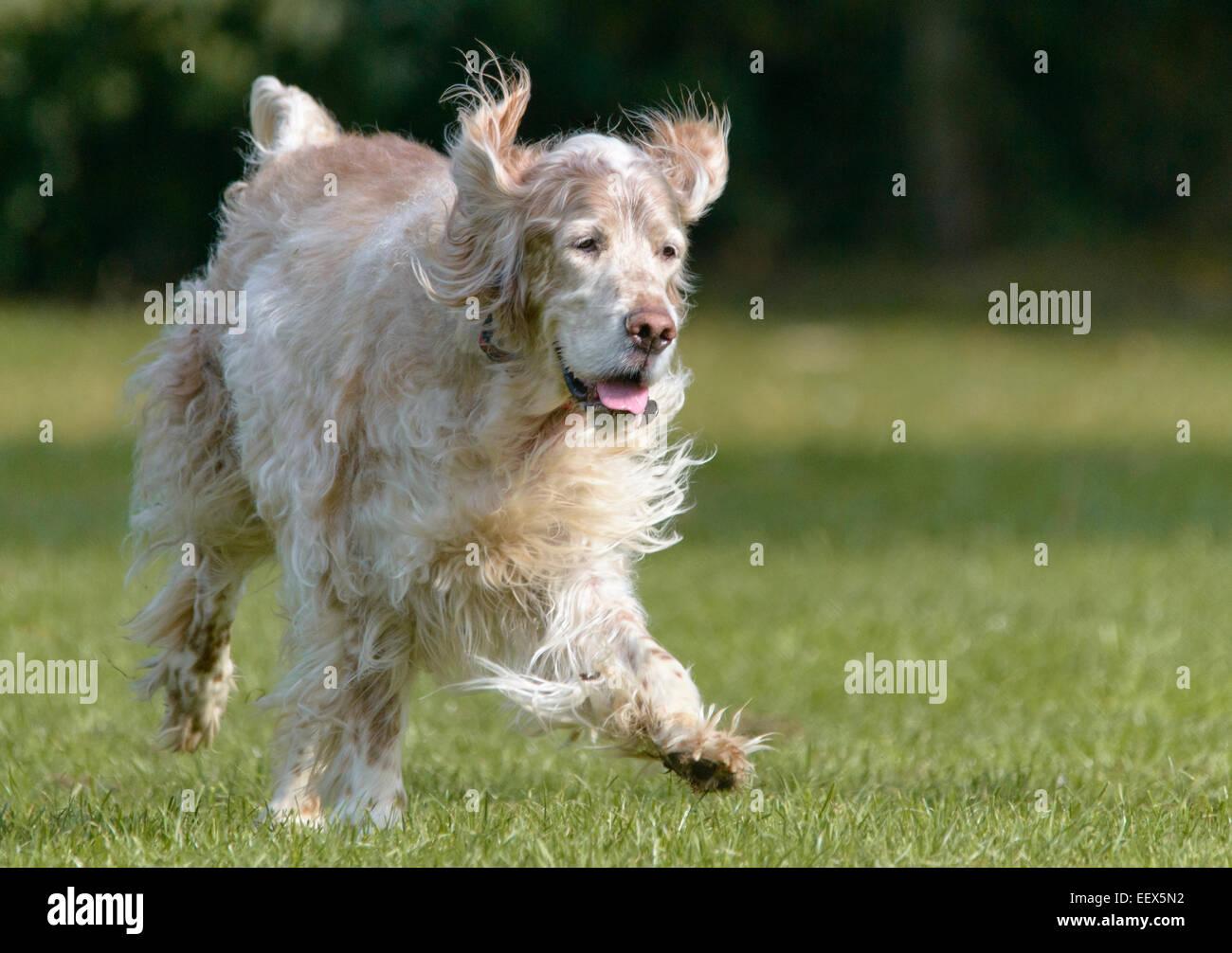 William the English Setter (Orange Belton) running - Stock Image