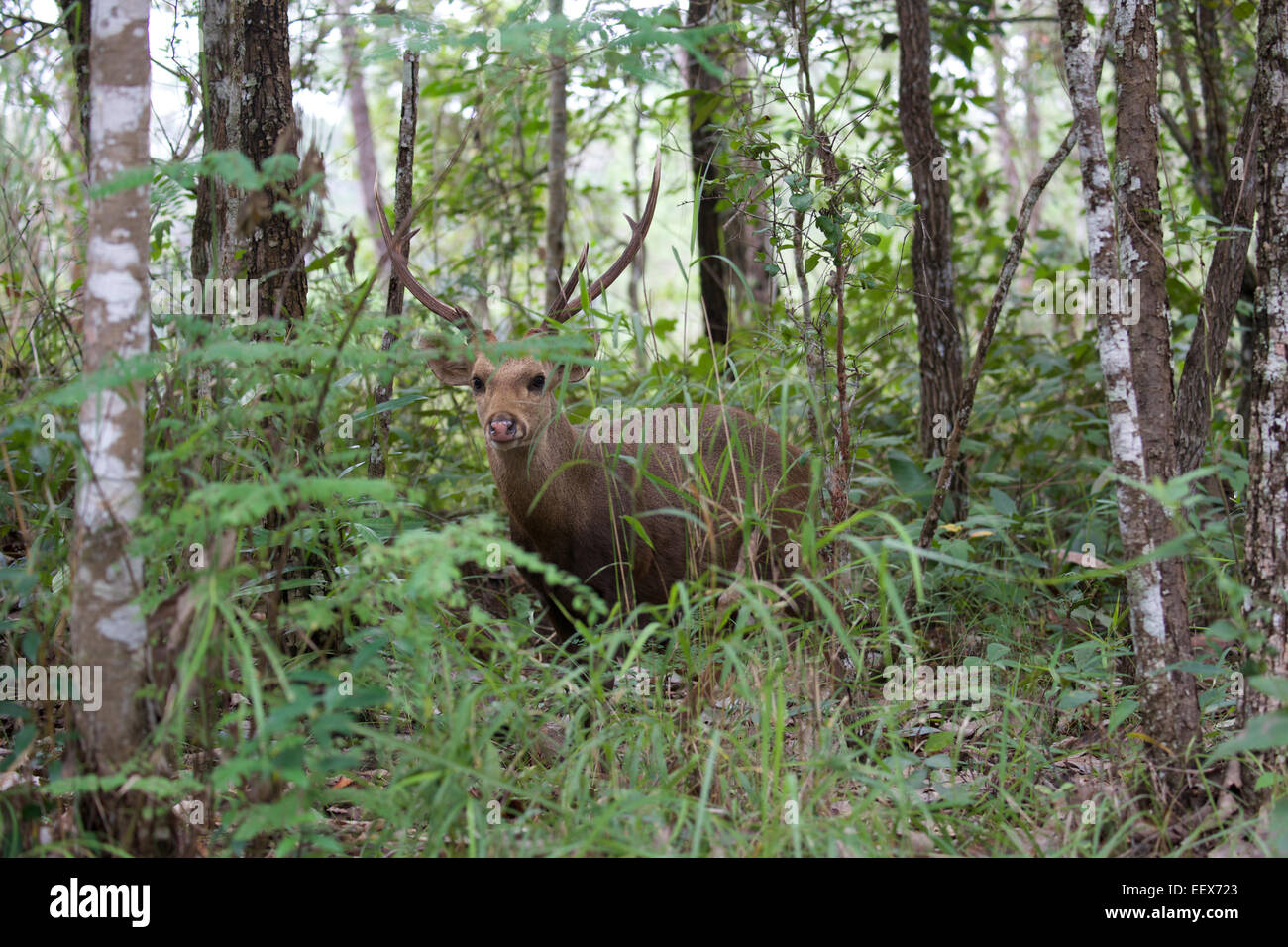 Hog Deer Axis porcinus.  Part of a reintroduction of the species in the Phu Khieo Wildlife Sanctuary, Thailand in - Stock Image