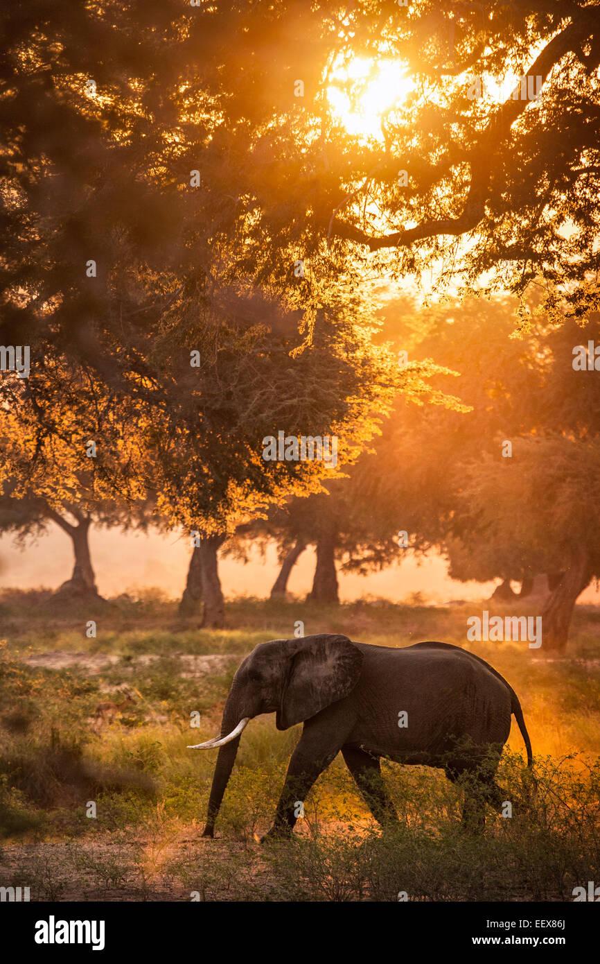 African Elephant - Stock Image