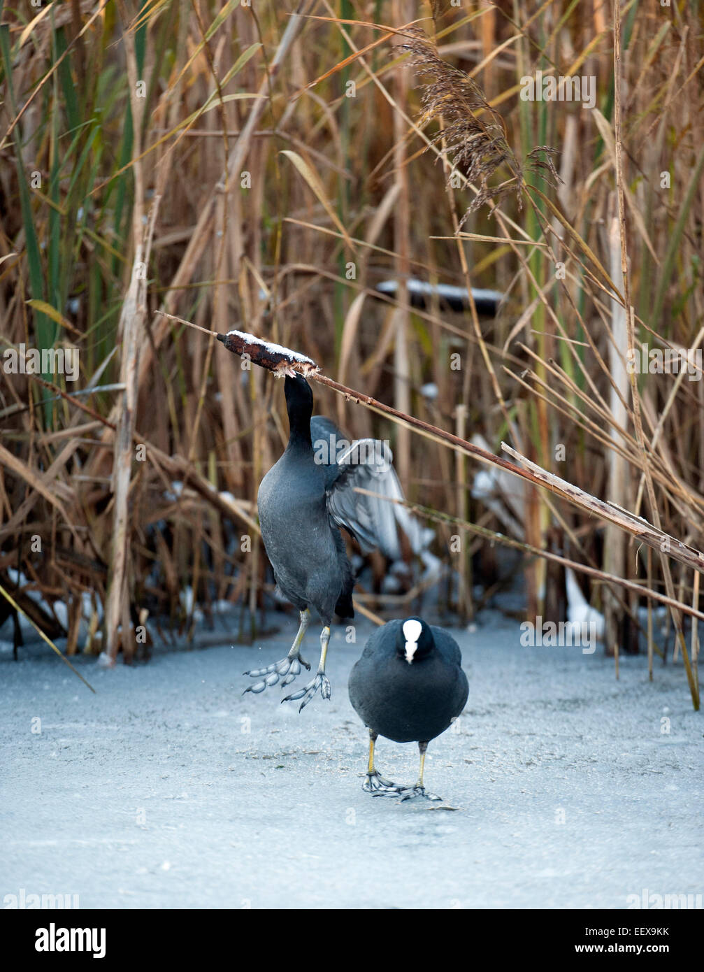 Extreme icy winter weather. Coots  Fulica atra  pull down reed mace (bulrush) seed heads the only thing left for - Stock Image