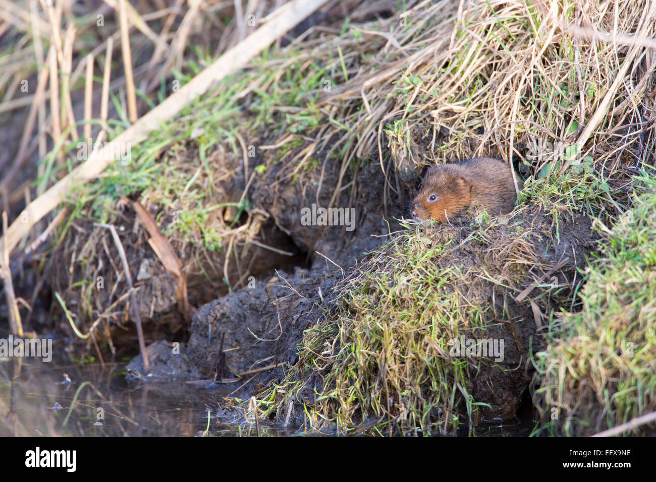 Water vole, Arvicola amphibius on bank overlooking water. Stock Photo
