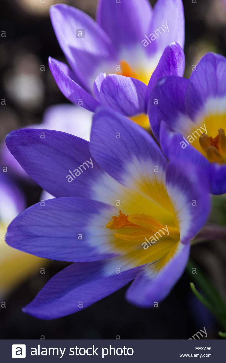 Crocus 'Tricolor' - Stock Image