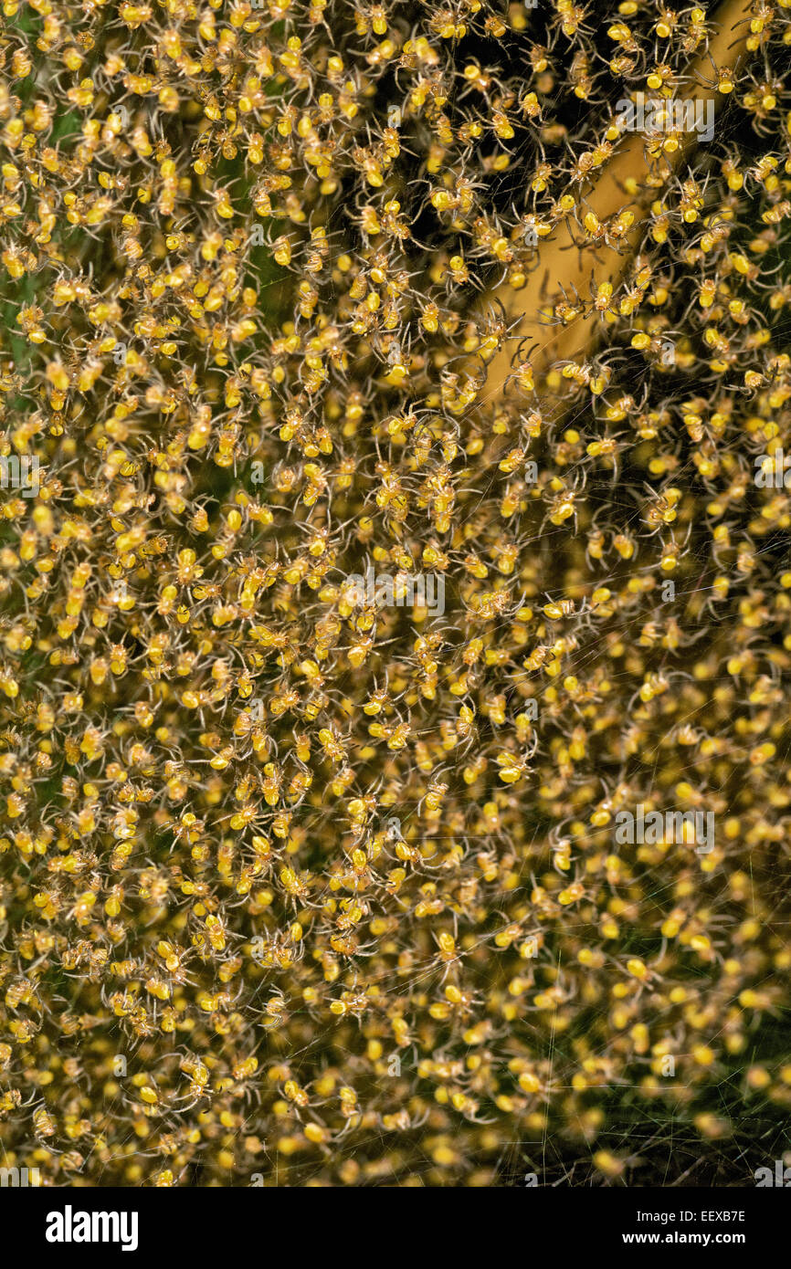 Spiderlings group together in the nest after hatching. - Stock Image