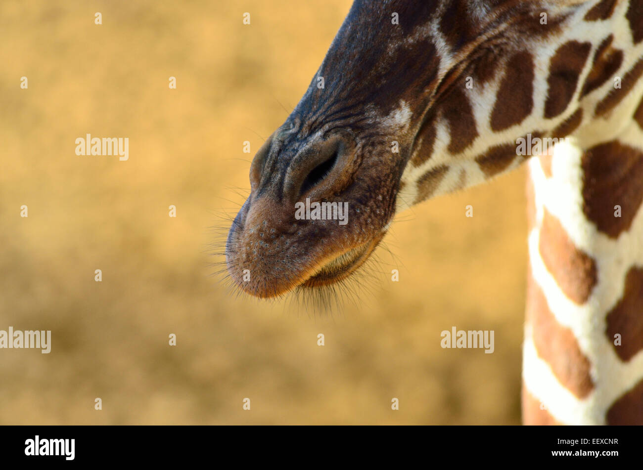 Mouth & nostrils of a Giraffe - Stock Image