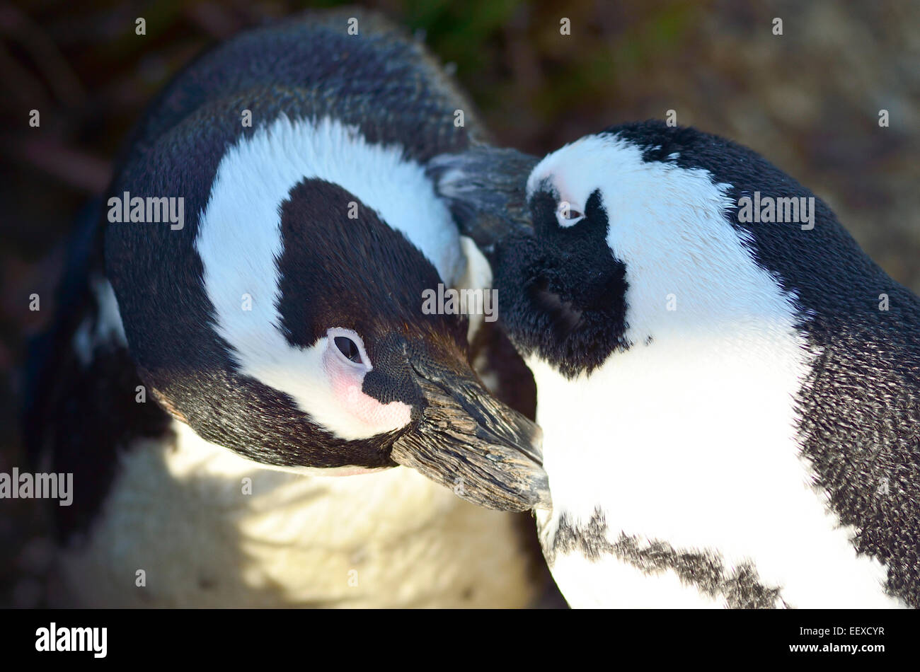 Penguin couple grooming each other - Stock Image
