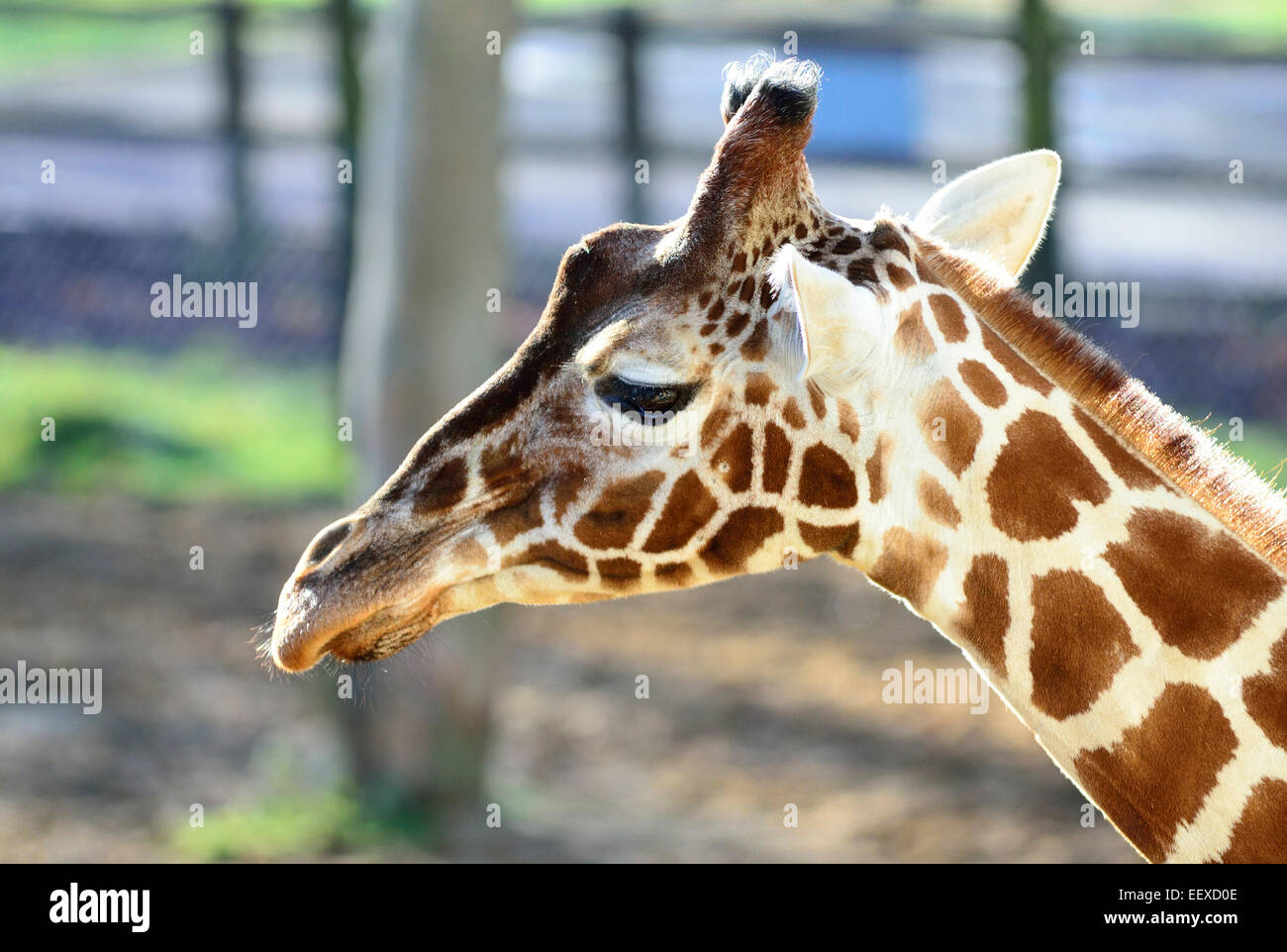 Giraffe head - Stock Image