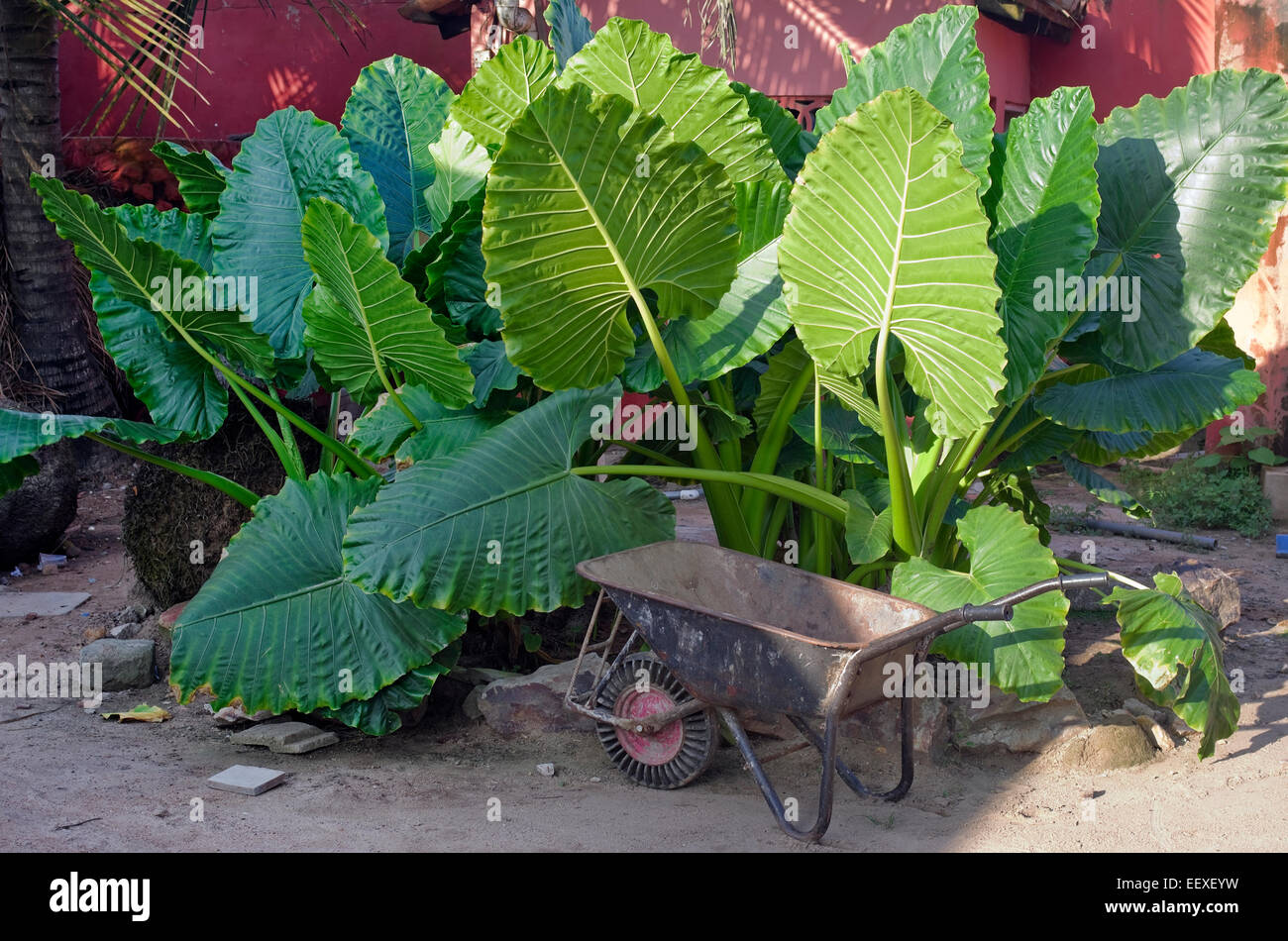 The African kitchen garden  landscape - an edible plant Elephant Ears (Taro) and rusty wheelbarrow. Sultry hot sunny - Stock Image