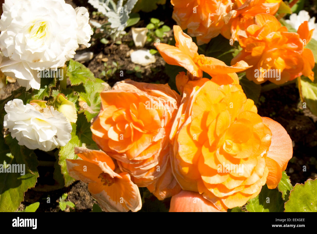 Few Flowers Begonia Of Orange And White Colour On Flower Bed Stock
