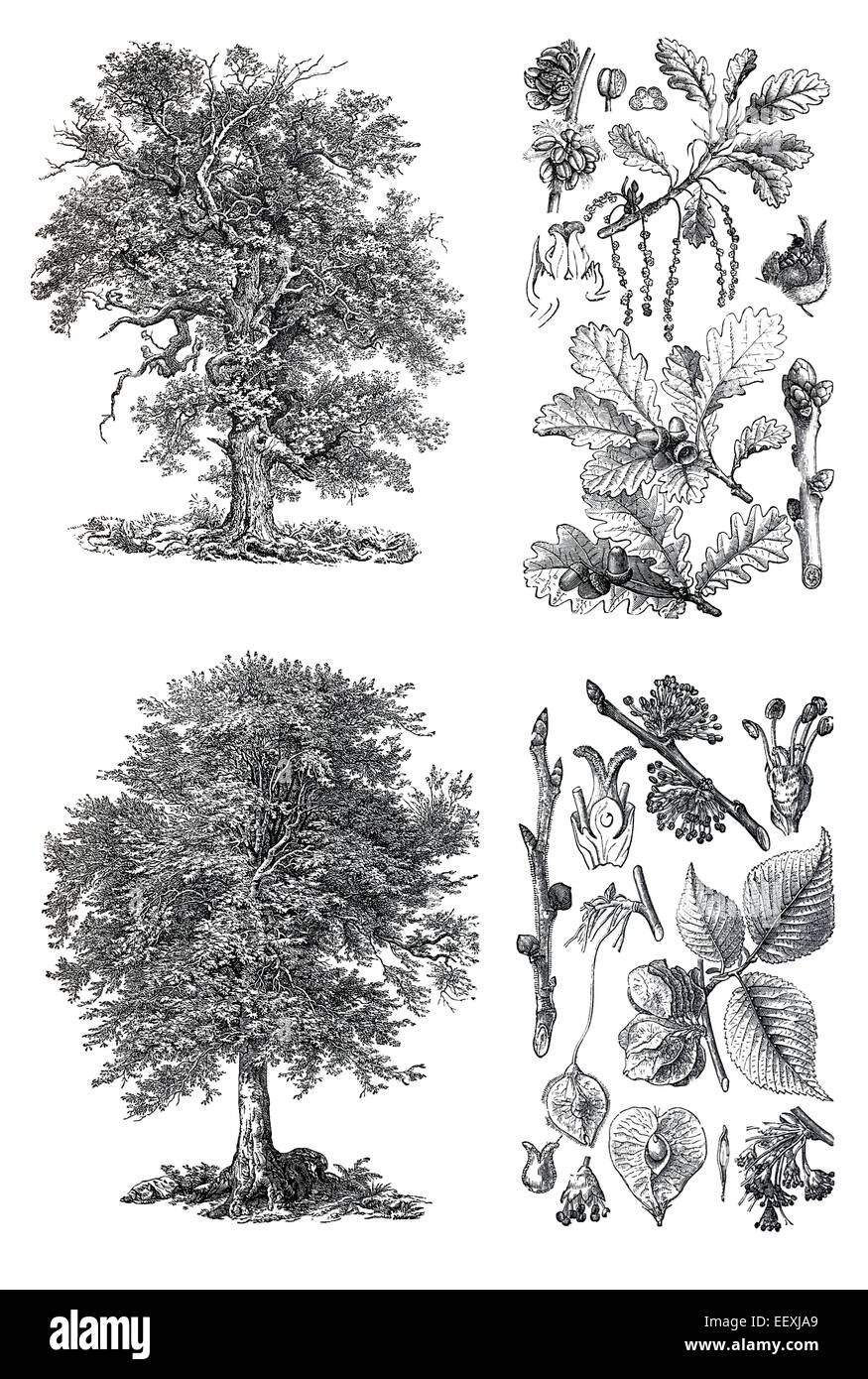 Retro vintage silhouettes of a oak trees an engraving illustration retro vintage silhouettes of a oak trees an engraving illustration from the public domain dictionary published in 1905 isol thecheapjerseys Gallery