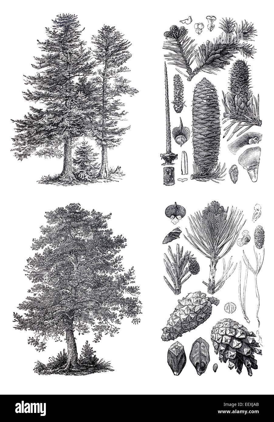 Retro vintage silhouettes of a european pine and siberian fir trees retro vintage silhouettes of a european pine and siberian fir trees an engraving illustration from the public domain dictionary altavistaventures Images
