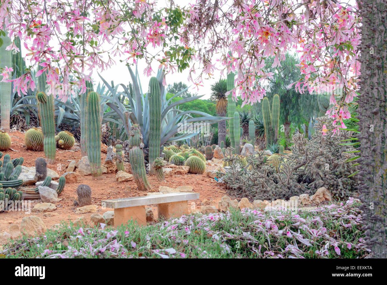 Silk floss tree chorisia speciosa with an abundance of pink silk floss tree chorisia speciosa with an abundance of pink flowers in cactus park mightylinksfo