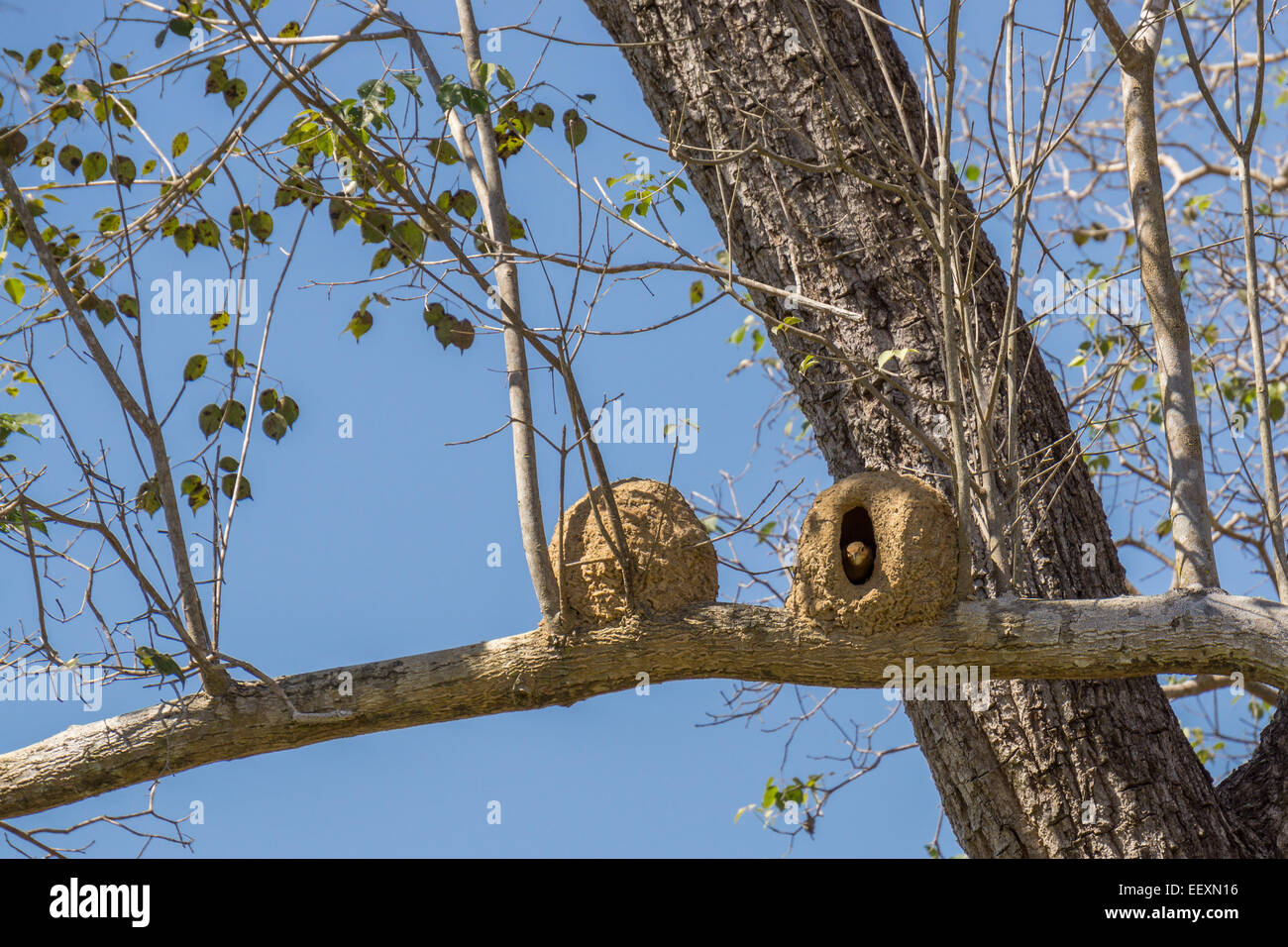 Joao de Barro bird and nest, Rufous hornero - Stock Image