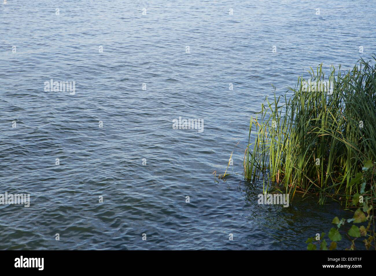 late afternoon sunlight hits a clump of grass in rippled water - Stock Image