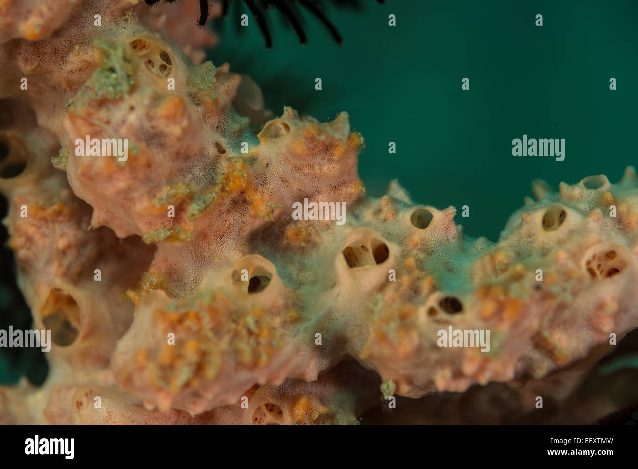 Spongy soft coral - Stock Image