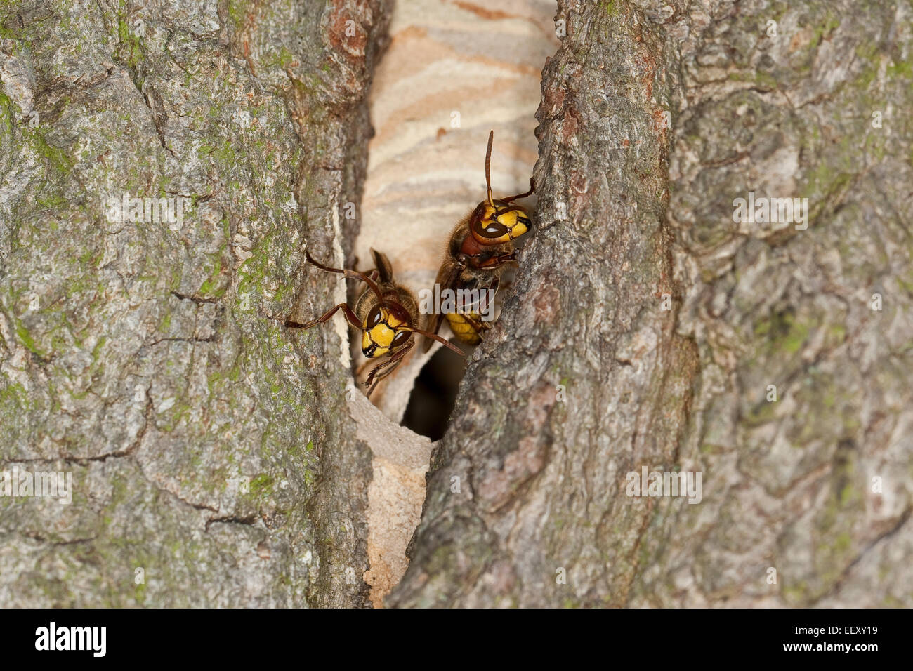 hornet brown hornet european hornet nest hole hornets