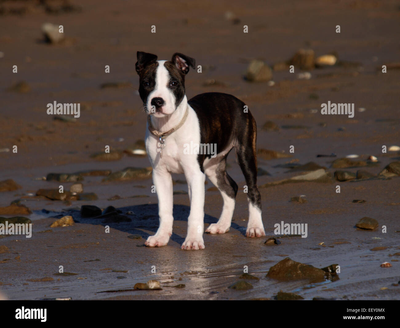 Cute puppy at the beach, probably a Staffordshire Bull Terrier cross, UK - Stock Image