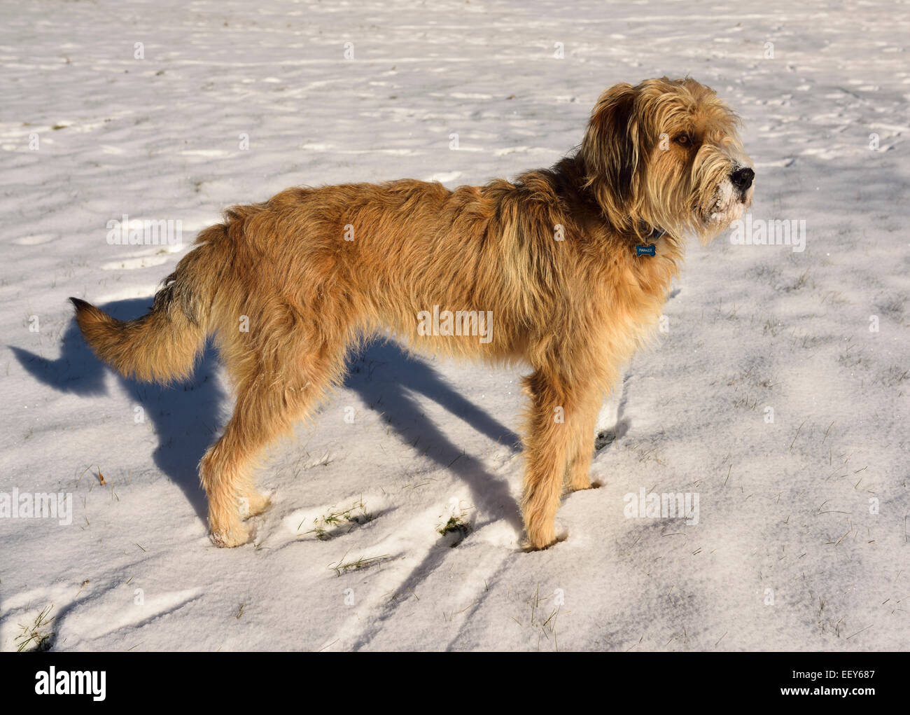 Mixed breed Poodle, Great Pyrenees, Russian Wolfhound, pet dog standing off leash in a snowy field in winter - Stock Image