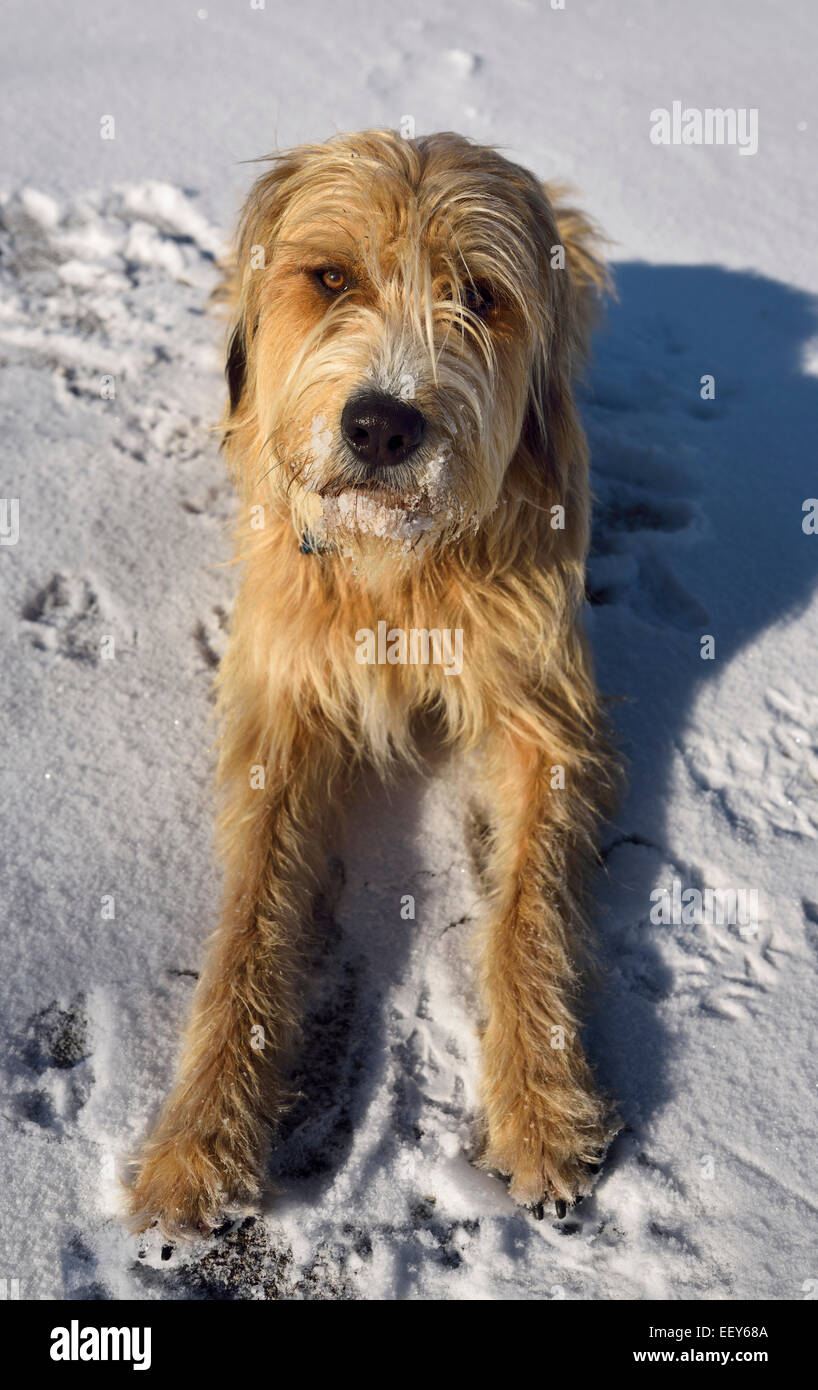 Obedient mixed breed Poodle, Great Pyrenees, Russian Wolfhound, pet dog lying in snow in winter - Stock Image