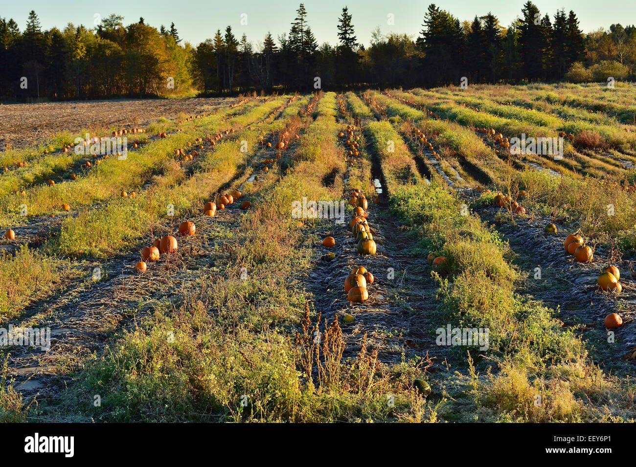 Field of pumpkins ready for harvest - Stock Image