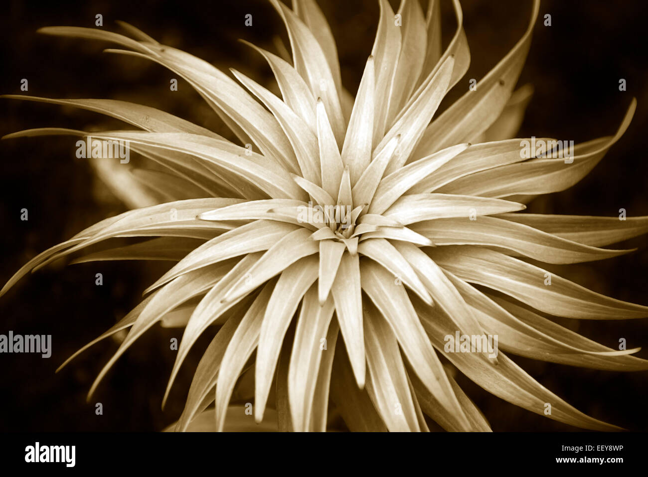 Plant abstract spiral pattern in sepia black and white - Stock Image