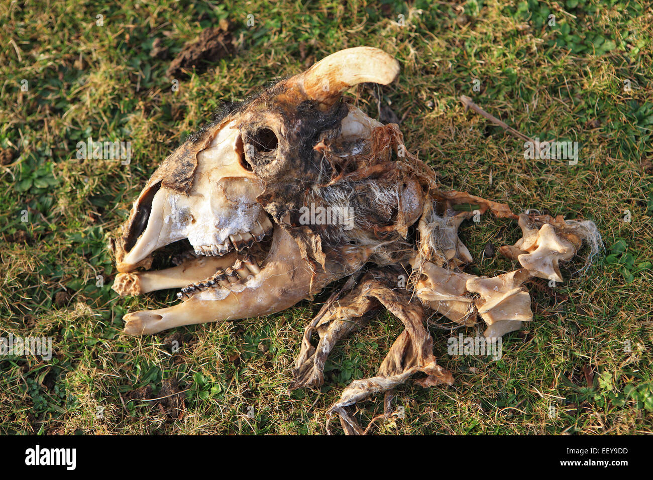 Sheep skull picked clean by scavengers - Stock Image