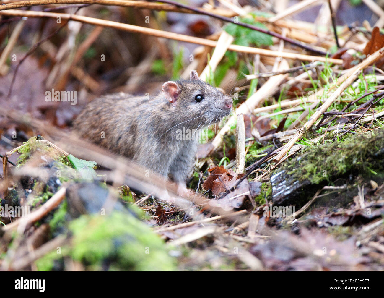 Brown rat sniffing the air. - Stock Image