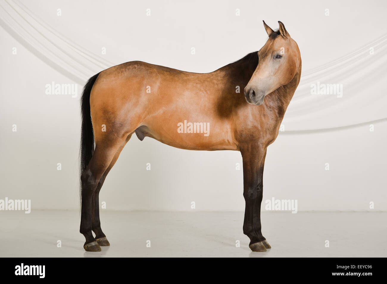 Horse Pose High Resolution Stock Photography And Images Alamy