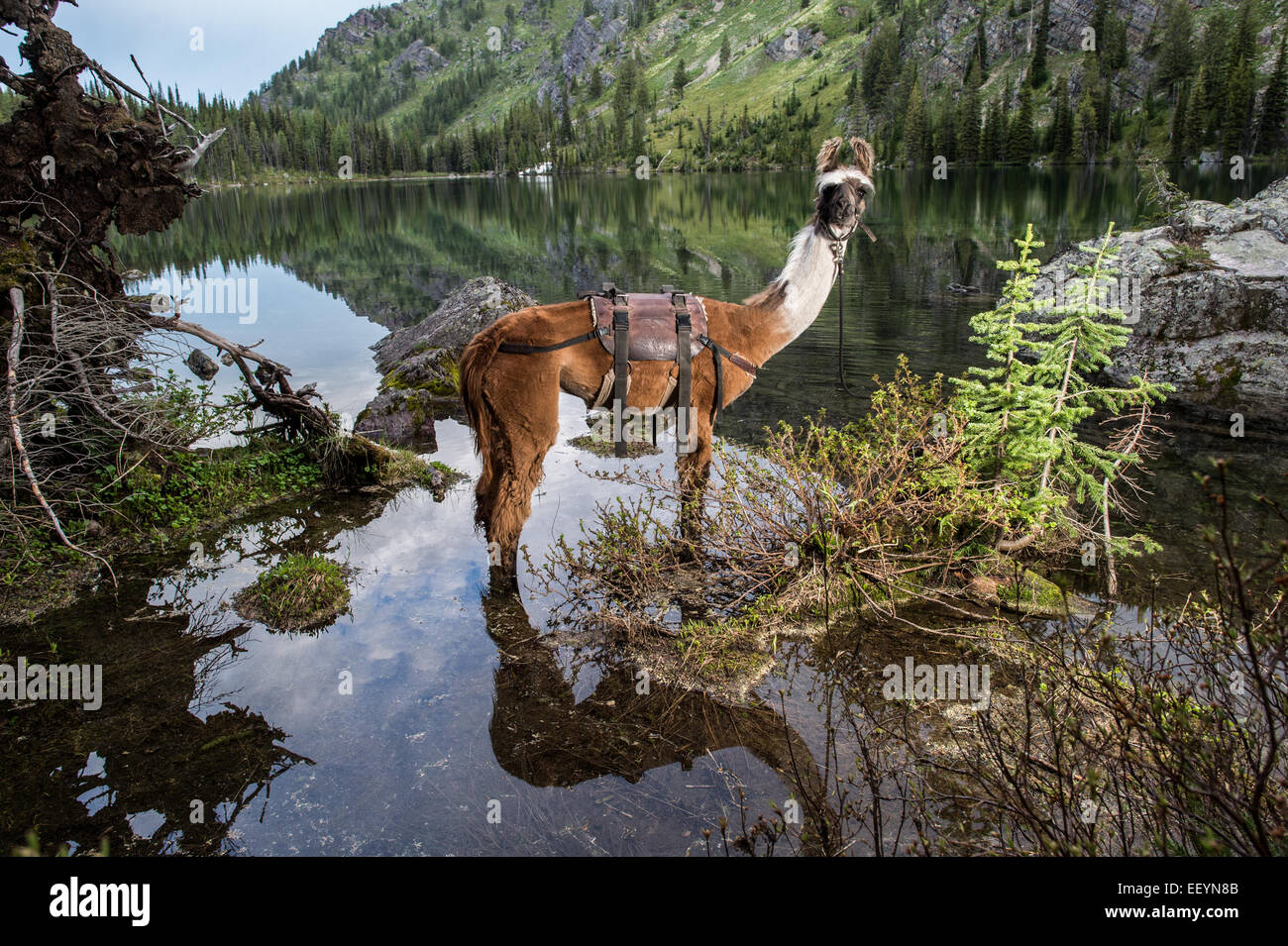 Welcome to the weird and wonderful world of llamas. Llama-trekking is one of the many activities available in remote - Stock Image