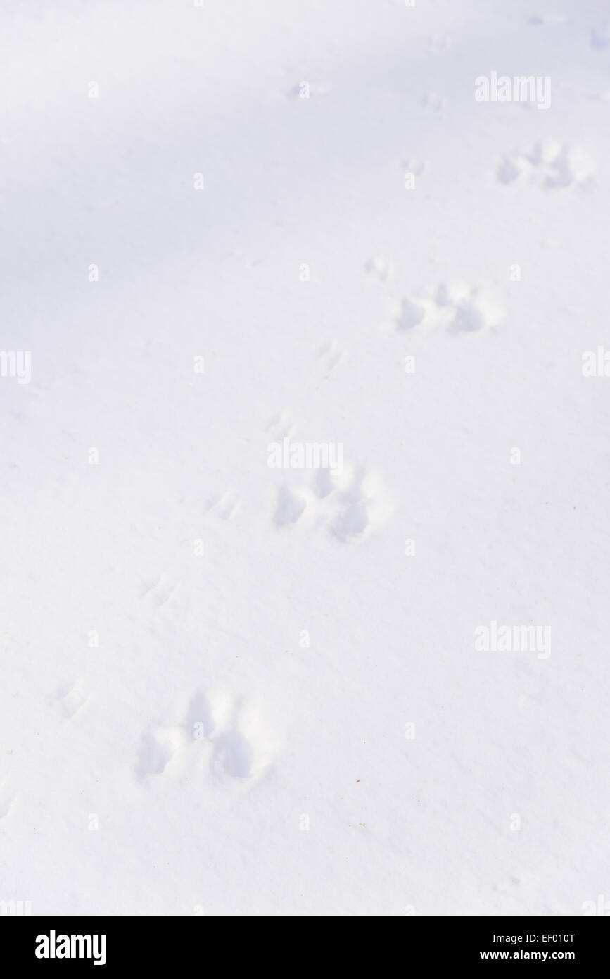 Animal tracks in winter snow, Dumfries & Galloway, Scotland - Stock Image