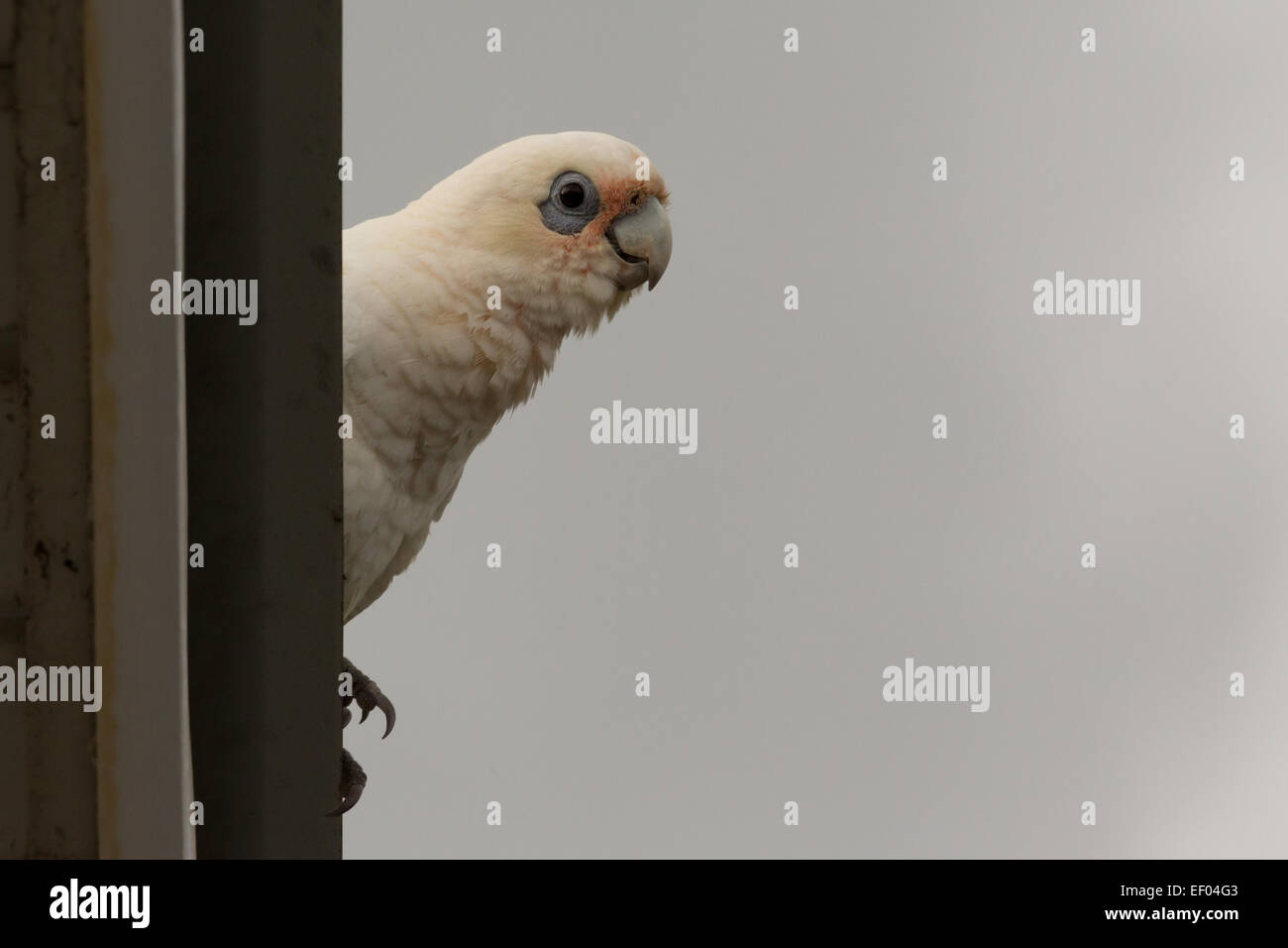 A photograph of a little corella. The photograph was taken in northern NSW, Australia. - Stock Image