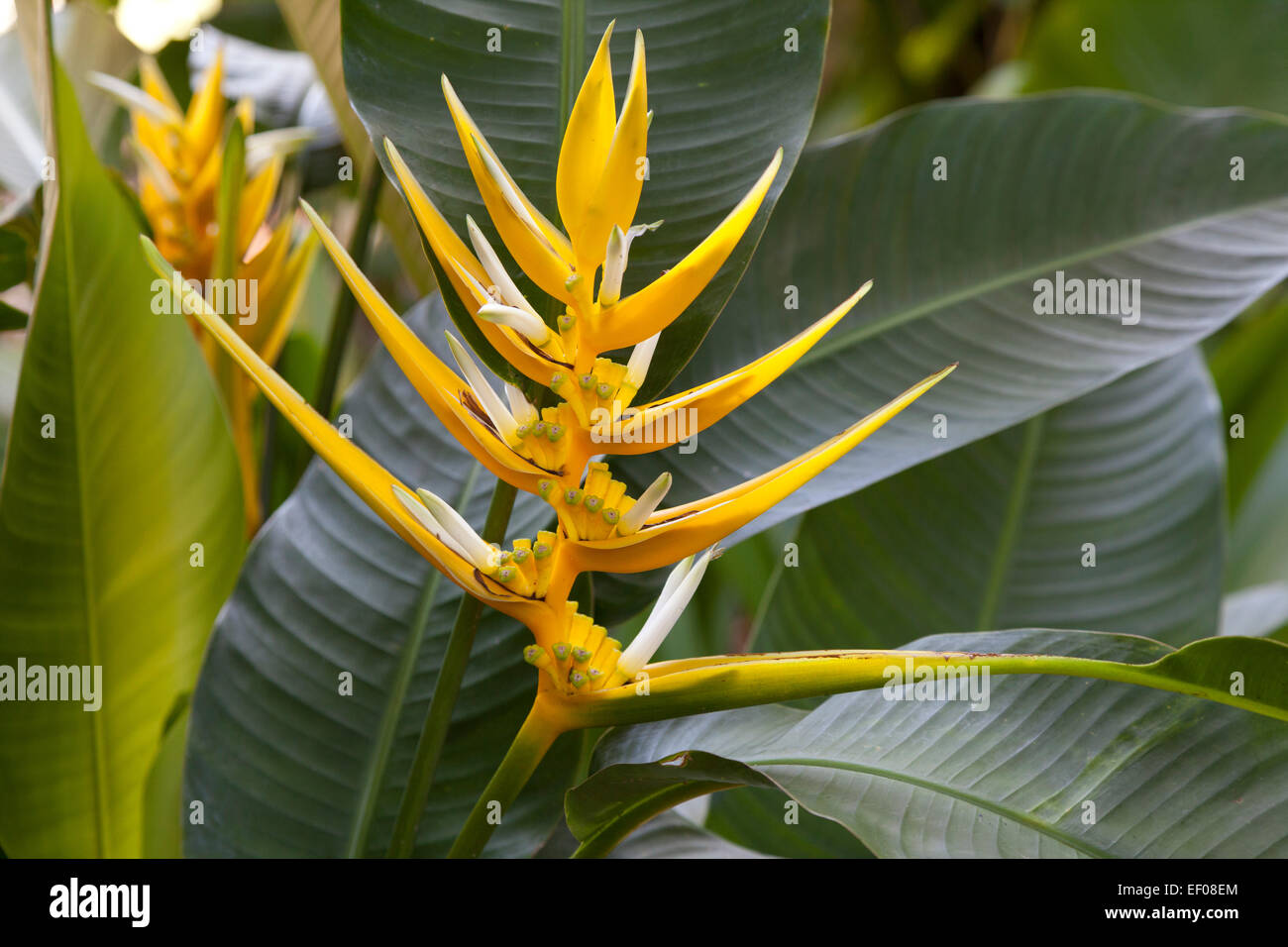Heliconia yellow holiday outdoors - Stock Image