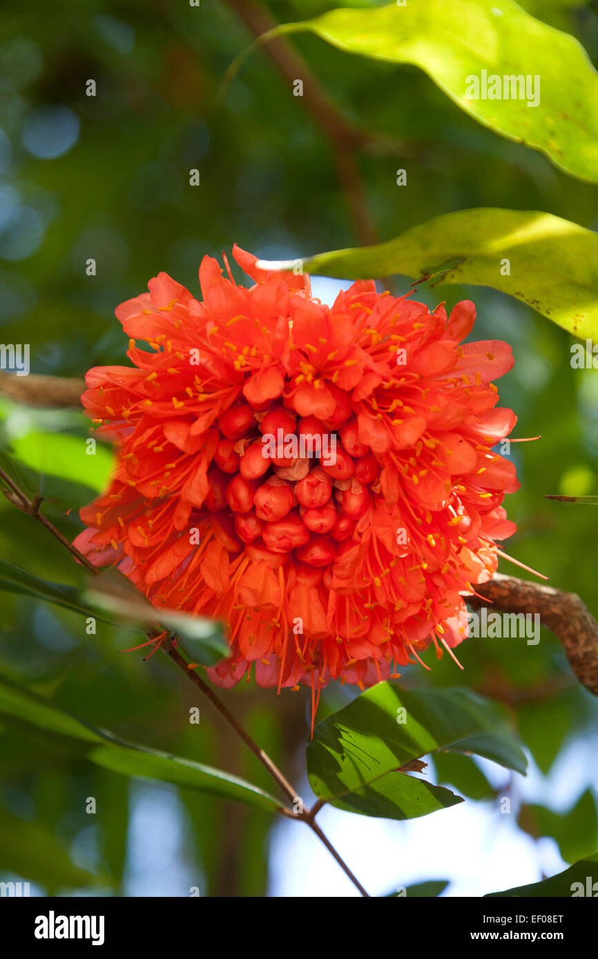 Rose of Venezuela flower outdoors - Stock Image